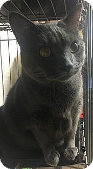 Domestic Shorthair Cat for adoption in Saylorsburg, Pennsylvania - Fendi