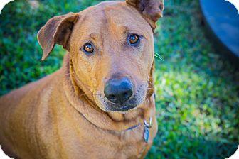 Rhodesian Ridgeback/Shar Pei Mix Dog for adoption in Houston, Texas - Romeo