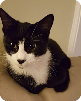 Domestic Shorthair Cat for adoption in Cliffside Park, New Jersey - POLLA