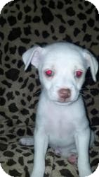 Terrier (Unknown Type, Small)/Chihuahua Mix Puppy for adoption in Las Vegas, Nevada - Mo