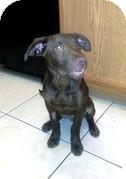Labrador Retriever Mix Puppy for adoption in Las Vegas, Nevada - Hershey