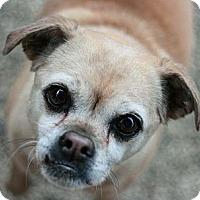 Adopt A Pet :: Mia the Puggle - Canoga Park, CA