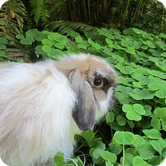 American Fuzzy Lop for adoption in Seattle c/o Kingston 98346/ Washington State, Washington - Macy