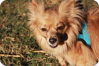 Pomeranian Mix Dog for adoption in Gilbert, Arizona - Nolan