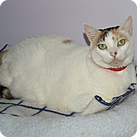 American Shorthair Cat for adoption in Englewood, Florida - Baby