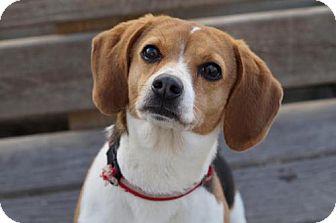Beagle Dog for adoption in El Cajon, California - Mushu