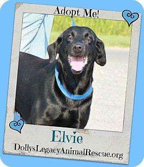 Labrador Retriever/Hound (Unknown Type) Mix Dog for adoption in Lincoln, Nebraska - ELVIE