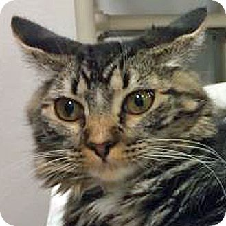 Domestic Mediumhair Cat for adoption in Prescott, Arizona - Aubrey