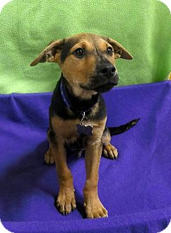 Terrier (Unknown Type, Medium) Mix Puppy for adoption in Detroit, Michigan - Salty-Adopted!