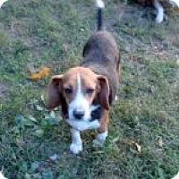 Adopt A Pet :: Liza - Dumfries, VA