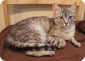 Domestic Shorthair Cat for adoption in Quail Valley, California - Jada