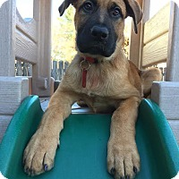 Shepherd (Unknown Type)/German Shepherd Dog Mix Puppy for adoption in Shakopee, Minnesota - Pablo D3362