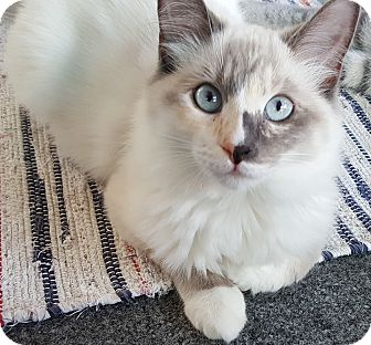 Snowshoe Kitten for adoption in Sherman Oaks, California - Amanda