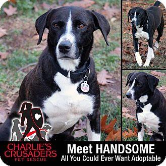 Labrador Retriever/Australian Cattle Dog Mix Dog for adoption in Spring City, Pennsylvania - Handsome