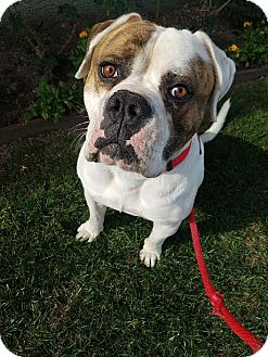 American Bulldog Mix Dog for adoption in Beverly Hills, California - Jack