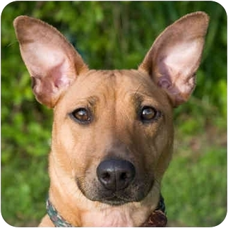 Pharaoh Hound/Bull Terrier Mix Dog for adoption in ...