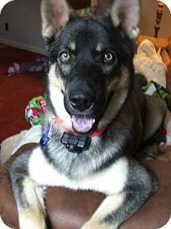 German Shepherd Dog/Husky Mix Puppy for adoption in Greeneville, Tennessee - Aries