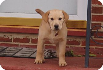 Labrador Retriever Puppy for adoption in Bedford, Virginia - Winnie Pooh