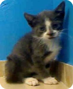 Domestic Shorthair Kitten for adoption in East Brunswick, New Jersey - Pebbles
