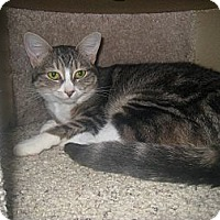Adopt A Pet :: Razzi - West Dundee, IL