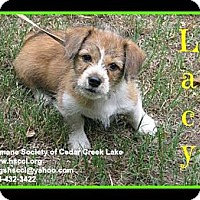 Adopt A Pet :: Lacy - Plano, TX