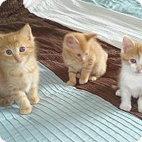 Adopt A Pet :: Cheer - Fairborn, OH
