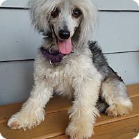 Adopt A Pet :: Ace-Adoption pending - Bridgeton, MO