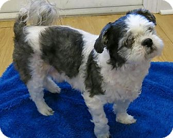 high point shih tzu high point nc shih tzu meet twister a dog for adoption 9211