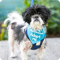 Adopt A Pet :: Cowboy Shih Tzu - Pacific Grove, CA