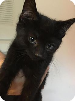 Domestic Shorthair Kitten for adoption in Columbus, Ohio - Bunny