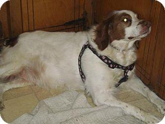 Brittany Dog for adoption in Mount Dora, Florida - TN/Bailey