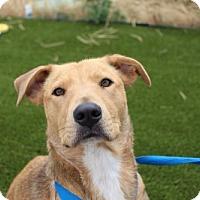 Adopt A Pet :: Sierra - Littleton, CO