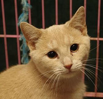 Domestic Shorthair Cat for adoption in Olean, New York - Butterscotch