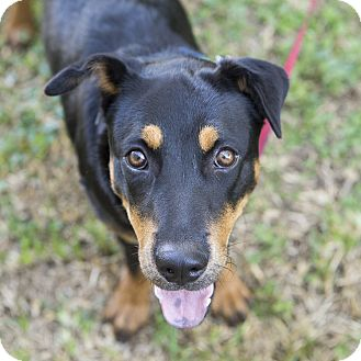 Retriever (Unknown Type)/Rottweiler Mix Dog for adoption in Houston, Texas - Tippy