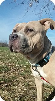 Pit Bull Terrier Mix Dog for adoption in Macomb, Illinois - Destiny