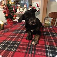 Adopt A Pet :: Livia - Kittery, ME