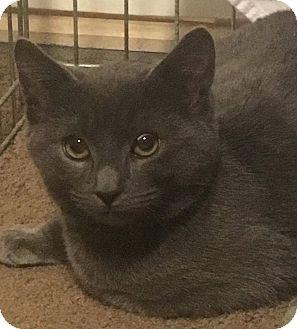 Domestic Shorthair Kitten for adoption in Mount Laurel, New Jersey - Spruce