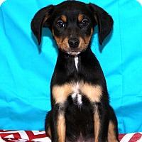 Adopt A Pet :: Baloo - Glastonbury, CT