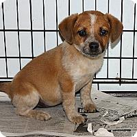Adopt A Pet :: Darla-Cattle Dog Mix - Philadelphia, PA