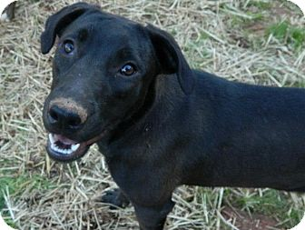 Labrador Retriever Mix Dog for adoption in West Bridgewater, Massachusetts - Midnight