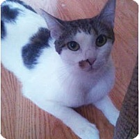 Domestic Shorthair Cat for adoption in Chicago, Illinois - Annie