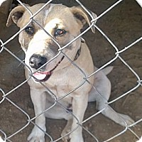 Adopt A Pet :: Sugar - Ranger, TX
