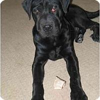 Adopt A Pet :: joeys puppy - Scottsdale, AZ