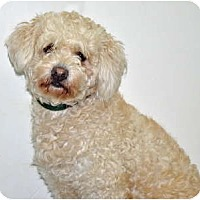 Adopt A Pet :: Biscuit - Port Washington, NY