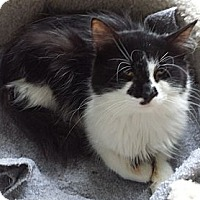 Adopt A Pet :: Button aka Smudge - Orillia, ON