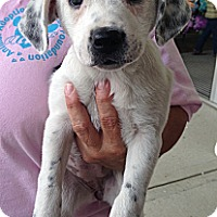 Adopt A Pet :: Dottie - Richmond, VA