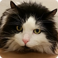 Domestic Longhair Cat for adoption in Grayslake, Illinois - Ramey