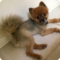 Adopt A Pet :: Soprano - Phoenix, AZ
