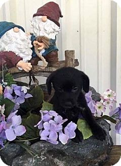 Border Collie/King Charles Spaniel Mix Puppy for adoption in Jacksonville, Texas - Candy