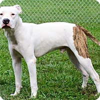 American Bulldog Mix Dog for adoption in Batavia, Ohio - Fido